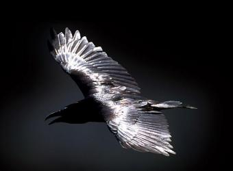 le-corbeau-2